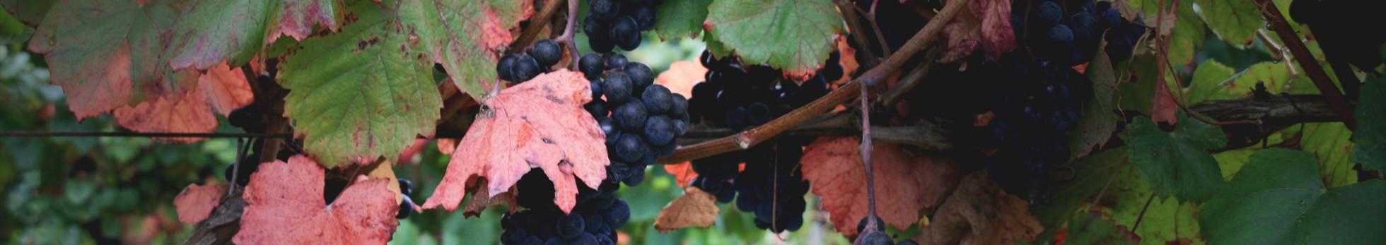 Les vins de pellehaut